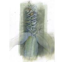 <p>Botanical Drawing - ginger<br />pencil and pastel on monoprint<br />20cm x 29cm</p>